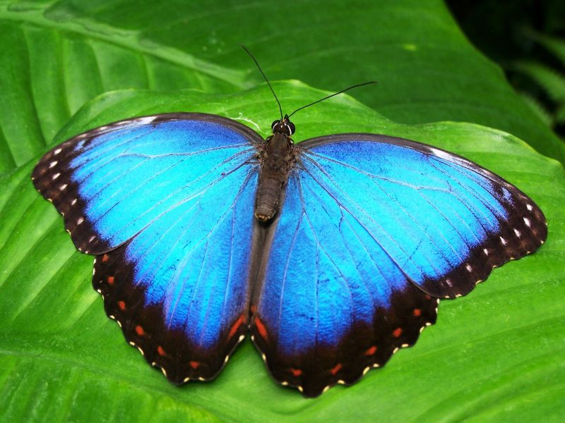 butterfly-blue-insect-blue-morphofalter-66268.Z.jpeg